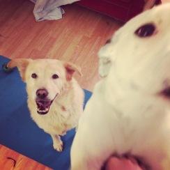 #yogadogs